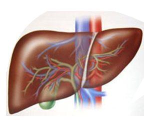 Il fegato, un organo fondamentale per la salute dell'intero organismo, importantissimo anche per l'ayurveda